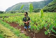 Taro farm, Waipio Valley, Island of Hawaii