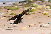 Carrion crow landing on the beach at Cromarty, on the Black Isle, Scotland.