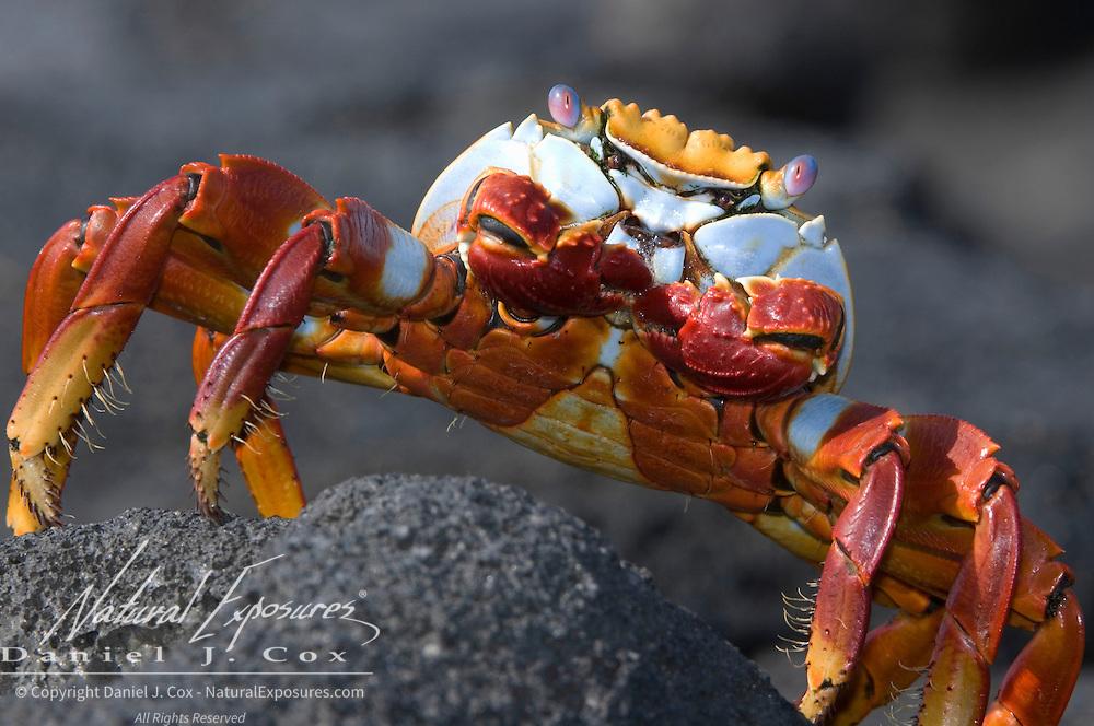 Sally Lightfoot Crab (Grapsus grapsus) crawling across a black rock. Galapagos, Ecuador