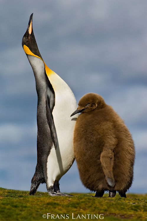 King penguin parent displaying in front of chick, Aptenodytes patagonicus, Falkland Islands