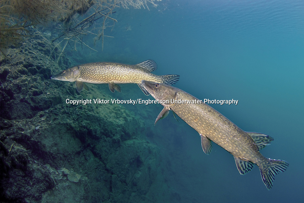 Northern Pike (spawning pair)<br />