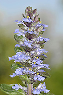 BUGLE Ajuga reptans (Lamiaceae) Height to 20cm<br /> Familiar, upright perennial with stems hairy on 2 opposite sides only. Grows in woods and grassy places, usually on damp, heavy soils. Leafy, creeping runners root at intervals. FLOWERS are 15mm long and bluish violet, the lower lip with pale veins. FRUITS are nutlets. LEAVES are ovate; lower leaves are stalked, upper ones are unstalked and borne in opposite pairs. STATUS-Widespread and commonest in the S.