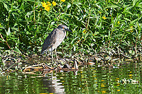 Immature Black-crowned Night Heron (Nycticorax nycticorax) standing on edge of Lake Chapala, Jocotopec, Jalisco, Mexico