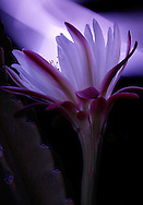 In an attempt to match the color of the Cereus cactus flower, a cell phone app was used to light paint the flower.