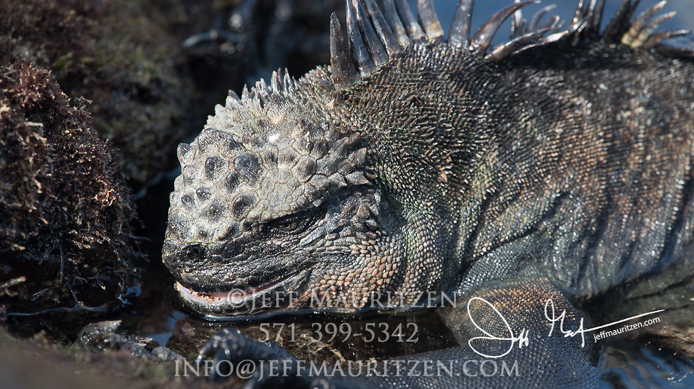 A Marine iguana feeds on algae that has been exposed during low tide on Fernandina island, part of the Galapagos islands of Ecuador.