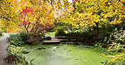 Maple tree leaves glow over a green pond in autumn at UW Arboretum. Washington Park Arboretum is a joint project of the University of Washington, the Seattle Department of Parks and Recreation, and the nonprofit Arboretum Foundation, in the State of Washington, USA. Photographed October 22. The panorama was stitched from 5 overlapping photos.