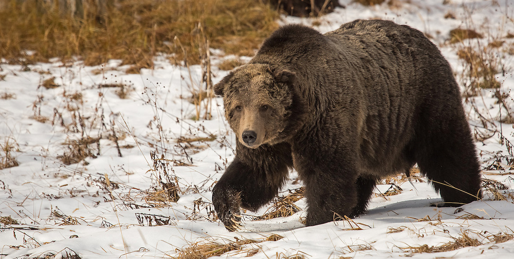 At almost 25 years of age, the  grizzly known as Scarface, is one of the most recognizable bears in Yellowstone. As the cold weather approaches, this large boar is busy packing on the pounds which will sustain him during his long winter hibernation. With Scarface looking so well this late in the year, I'm hopeful that we'll see him again next spring.