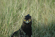 Kenya, Samburu National Reserve, Kenya, close up of a Long-crested Eagle (Lophaetus occipitalis) hiding in the grass, looking at camera