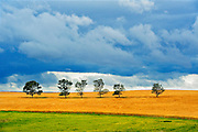 Trees and crop with stormy sky<br /> Ernhold<br /> Saskatchewan<br /> Canada