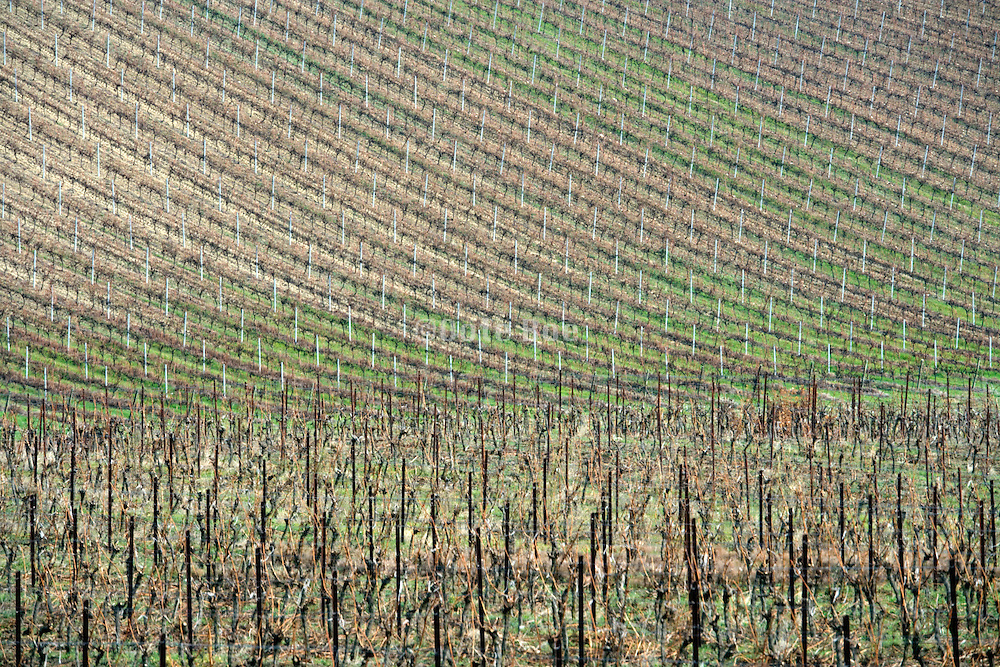 vineyard in France the Languedoc during late fall winter season