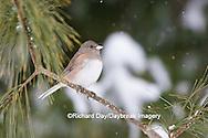 01569-01716 Dark-eyed Junco (Junco hyemalis) in winter. Marion Co. IL