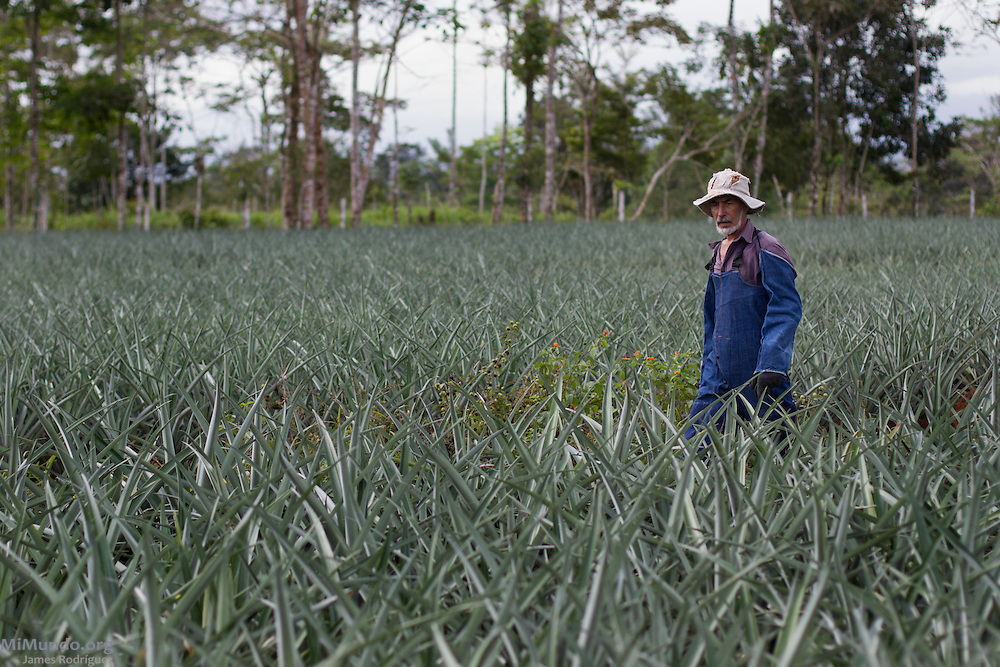 Pablo Araya, 52, from Katira, walks within his pineapple fields. Mr. Araya has been a small producer associated with AGRONORTE since 2007. AGRONORTE exports pineapples, or ananas, certified by the Fairtrade Labelling Organization (FLO). Katira, San Rafael Guatuso, Alajuela, Costa Rica. January 29, 2014.