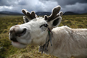 Stunning images reindeer herders of Mongolia<br /> <br /> Tsaatan people are reindeer herders and live in northern Khövsgöl Aimag of Mongolia. Originally from across the border in what is now Tuva Republic of Russia,the Tsaatan are one of the last groups of nomadic reindeer herders in the world. They survived for thousands of years inhabiting the remotest Ulaan taïga, moving between 5 and 10 times a year. <br /> The reindeer and the Tsaatan people are dependent on one another. Some Tsaatan say that if the reindeer disappear, so too will their culture. The Tsaatan depend on the reindeer for almost, if not all, of their basic needs:  their reindeers provide them with milk, cheese, meat, and transportation. They sew their clothes with reindeer hair, reindeer dung fuels their stoves and antlers are used to make tools. They do not use their animals for meat. This makes their group unique among reindeer-herding communities. As the reindeer populations shrink, only about 40 families continue the tradition today. Their existence is threatened by the dwindling number of their domesticated reindeer. Many have swapped their nomadic life for urban areas. <br /> <br /> The Tsaatan people have evolved an extraordinary and unique way of life, dependent both on their reindeer and the forests where they hunt. Almost, if not all, of the families' basic needs are provided for by their herds. The reindeers provide them with milk, cheese and transportation; they sew their clothes with reindeer hair; reindeer dung fuels their stoves; and the antlers are used to make many useful tools.<br /> ©Pascal MANNAERTS/Exclusivepix Media