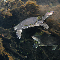 Pair of Florida softshell turtles (Apalone ferox) underwater in  Rainbow River, Florida, USA