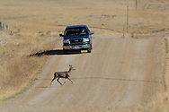 Mule Deer Doe Crossing Rural Road in Front of Truck