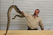 Eastern Diamondback Rattlesnake (Crotalus adamanteus) & Chris Jenkins<br /> CAPTIVE<br /> The Orianne Indigo Snake Preserve<br /> Telfair County. Georgia<br /> USA<br /> RANGE: Southern United States