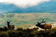 A bugling bull elk performing an autumn serenade.