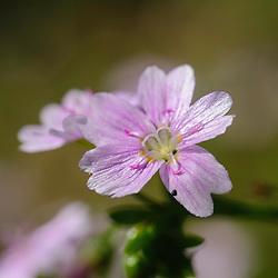 Montiaceae, bronkruidfamilie