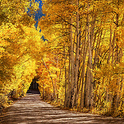 A tunnel of gold aspens near Boreas Pass, high along the crest of the Front Range in central Colorado