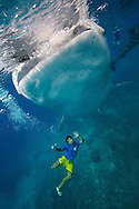 A whale shark (Rhincodon typus) feeder from Oslob, Philippines posing for a picture with the biggest fish in the world.