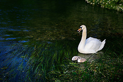 UK ENGLAND WILTSHIRE 26JUN08 - A swan and chicks on the river Kennet near Stichcoombe in rural Wiltshire, western England...jre/Photo by Jiri Rezac / WWF UK..© Jiri Rezac 2008..Contact: +44 (0) 7050 110 417.Mobile:  +44 (0) 7801 337 683.Office:  +44 (0) 20 8968 9635..Email:   jiri@jirirezac.com.Web:     www.jirirezac.com..© All images Jiri Rezac 2008 - All rights reserved.
