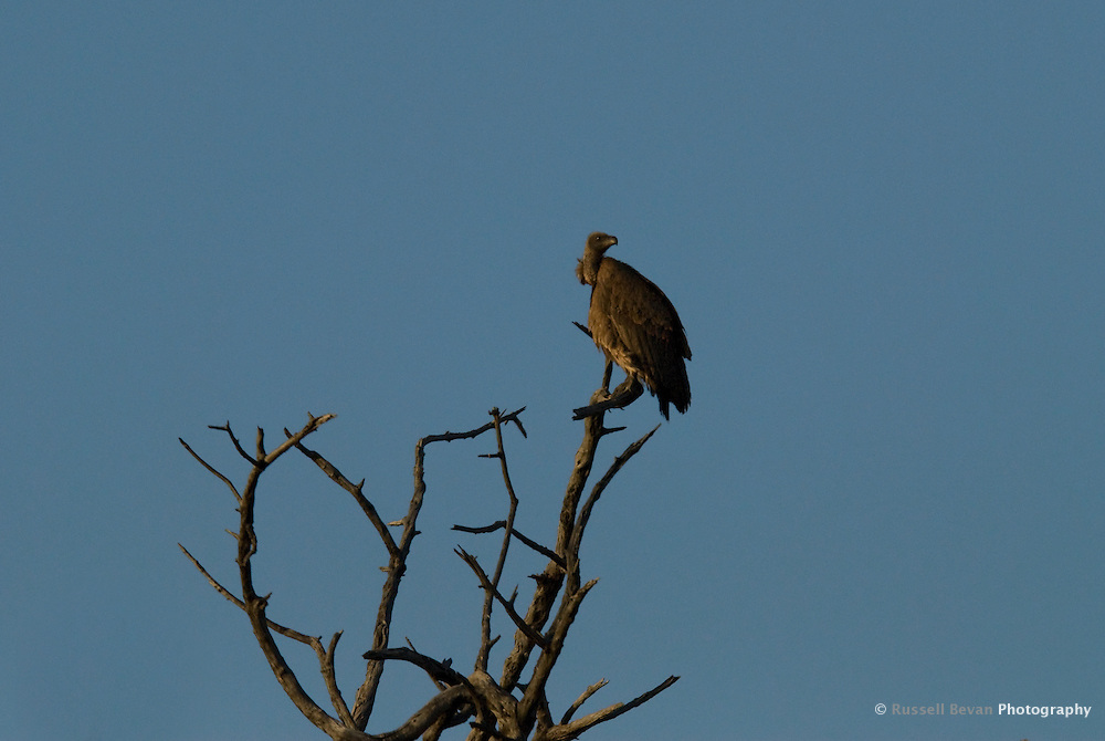Vulture in tree at Chobe National Park, Botswana