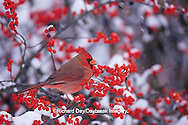 01530-17507 Northern Cardinal (Cardinalis cardinalis) male in Common Winterberry (Ilex verticillata) in winter Marion Co. IL