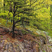 """""""Rooted in Stone""""<br /> <br /> Beautiful early spring foliage make a lovely background for this evergreen growing on top of stone. Beautiful roots grabbing in all directions!!<br /> <br /> The Blue Ridge Mountains by Rachel Cohen"""