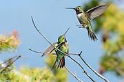 Broad-tailed hummingbird males in territorial display, Boulder, Colorado