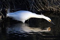 Snowy Egret (Egretta thula), Palo Alto Baylands, Palo Alto, California, United States of America