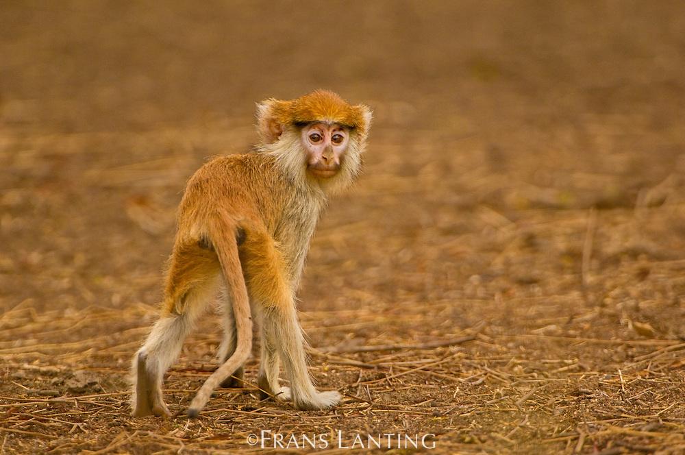 Patas monkey, Erythrocebus patas, Bandia Reserve, Senegal