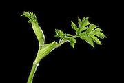 Wiesen-Bärenklau, (Heracleum sphondylium)