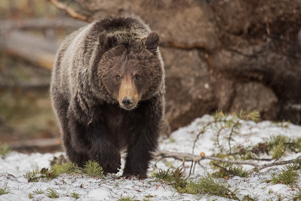 A subadult grizzly forages among Yellowstone's many thermals in search of early spring green-up. Now four years old, this beautiful female is spending her first spring away from her mother's care.