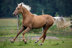 Morgan horses<br /> © Hippo Foto - Dirk Caremans