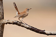 Rufous Bush Robin (Cercotrichas galactotes) on a branch, negev desert, israel
