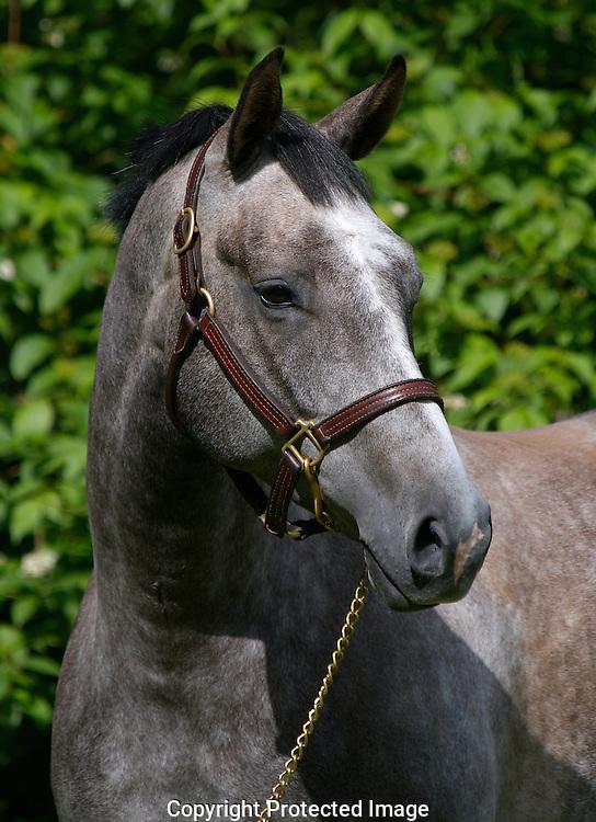 Grey thoroubred gelding portrait