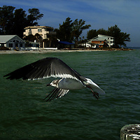 (02.02.2005)(PHOTO/CHIP LITHERLAND) -- A seagull takes off in flight from a post at the tip of Anna Maria Island Wednesday morning.