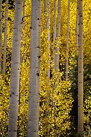 Aspens glow golden yellow along Utah's Alpine Loop.