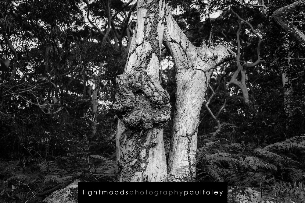 Dead tree in Headland Park, Mosman, NSW, Australia