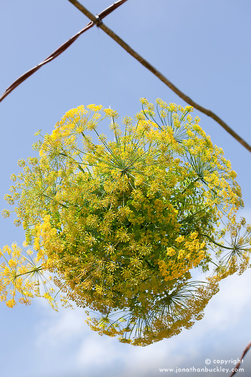 Globe made out of dill and euphorbia oblongata