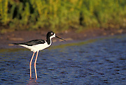 Hawaiian stilt or Ae'o (Himantopus mexicanus knudseni).