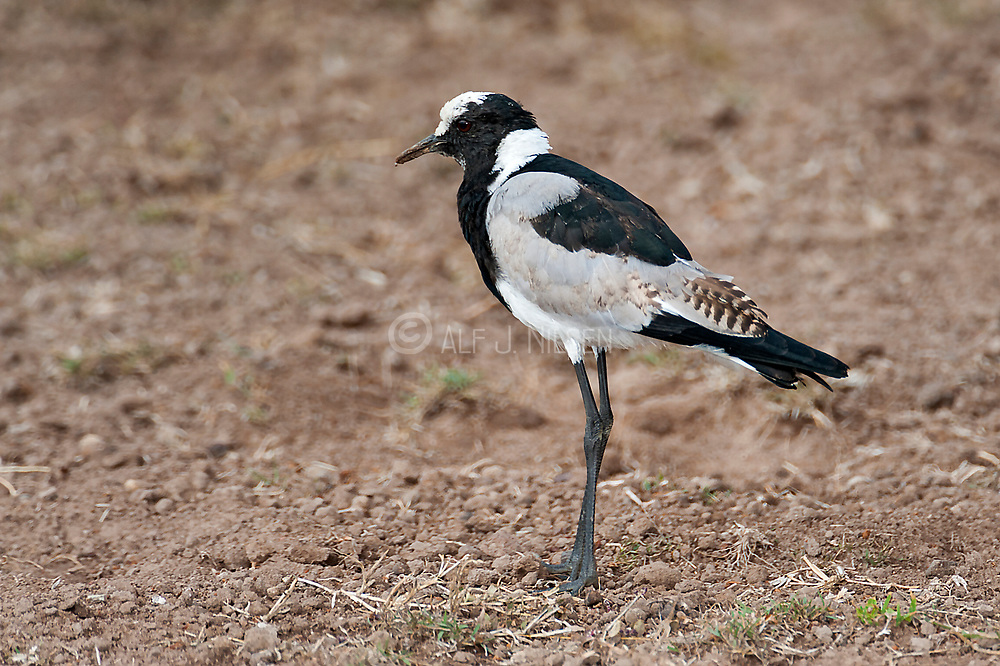 Blacksmith Lapwing (Vanellus armatus) from Sweetwaters, Kenya.