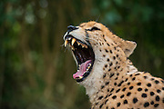 Cheetah (Acinonyx jubatus) <br /> Inkwenkwezi Private Game Reserve<br /> Eastern Cape<br /> SOUTH AFRICA<br /> CAPTIVE
