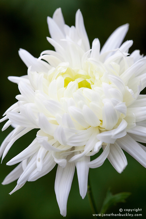 Chrysanthemum 'Louis Germ White'