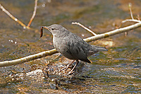 An American Dipper with an insect larva it has caught.