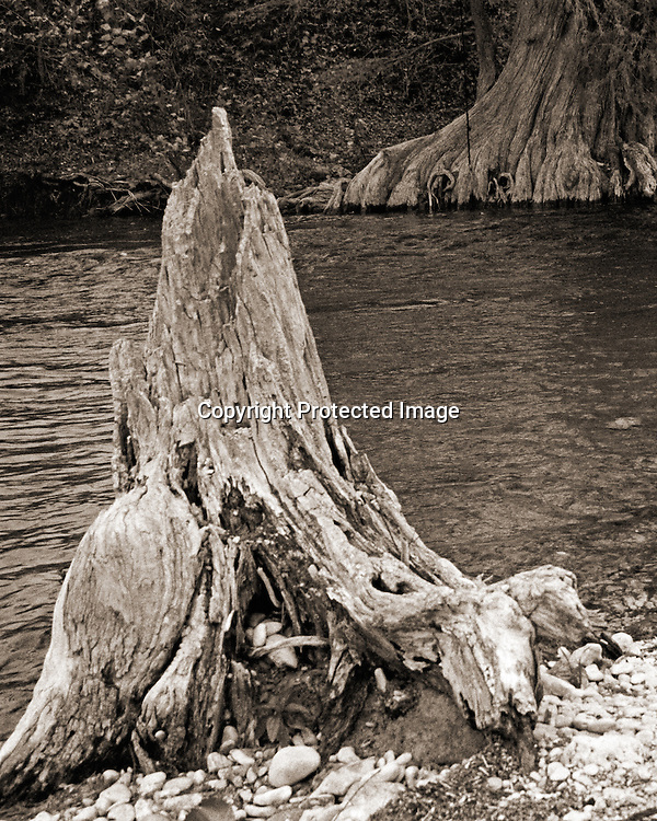"Stump of ancient cypress tree on river in Texas Hill Country in sepia tone. NOTE: Click ""Shopping Cart"" icon for available sizes and prices. If a ""Purchase this image"" screen opens, click arrow on it. Doing so does not constitute making a purchase. To purchase, additional steps are required."