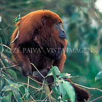 "Bugio Ruivo ""Allouata fusca"", foto de Ze Paiva/Vista Imagens"