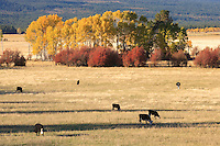 Cattle graze in a pasture near Glenwood, WA, USA with autumn colored aspen and red osier dogwood in the background.