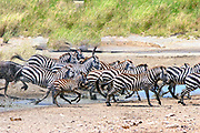 Africa, Tanzania, Serengeti National Park annual migration of over one million white bearded (or brindled) wildebeest and 200,000 zebra. Spring April