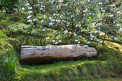 Old log used as seat backed by Rhododendron 'Lady Alice Fitzwilliam' AGM in the woodland garden at Greencombe, Porlock